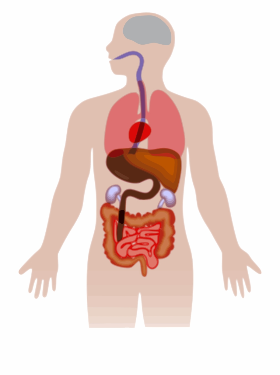 Clipart Picture Of Human Body Png Clipartxtras.