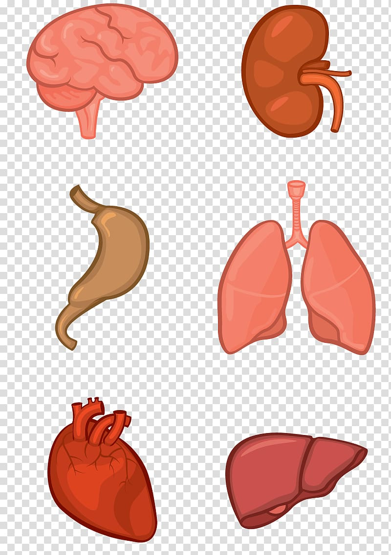 Internal organs, Organ system Human body Anatomy Tissue.
