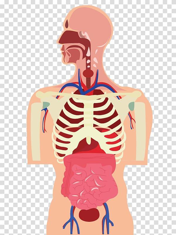 Human body Organ Muscle Cartoon, human body transparent.