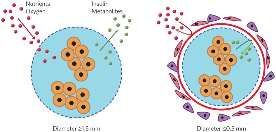 Foreign body response to alginate spheres encapsulating insulin.