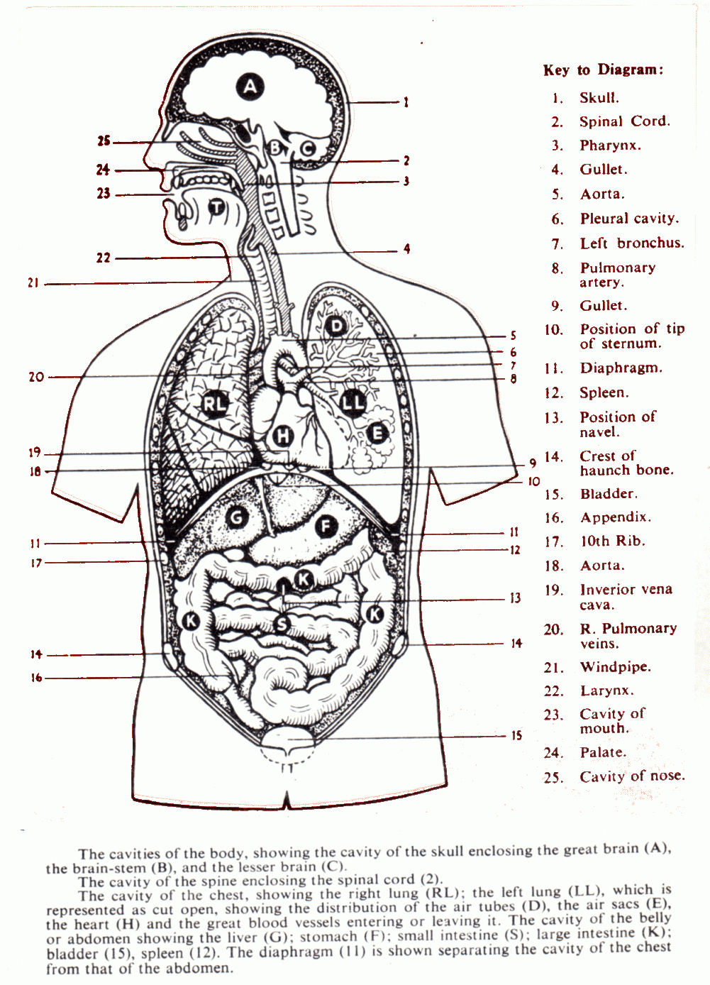 Organs In The Body Cavities.