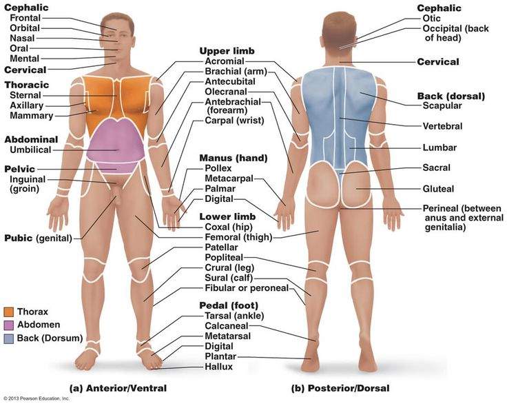 Body Regions Clipart For Ap.