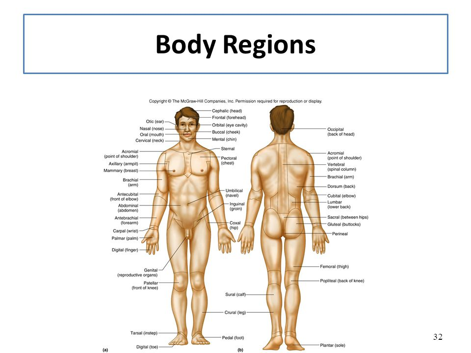 body regions clipart for ap - Clipground