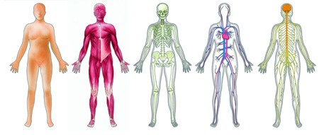 Human body system clipart.
