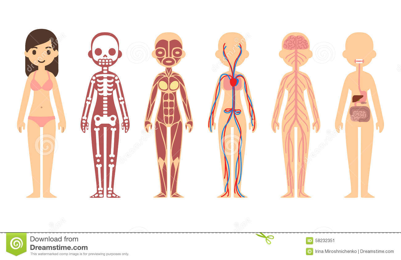 Diagram Of The Body System Organs Clipart Body System.