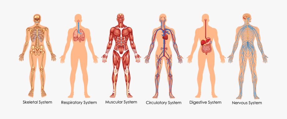 Health Transparent Body Image.