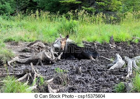Stock Photography of Moose lying down in cool mud of bog.