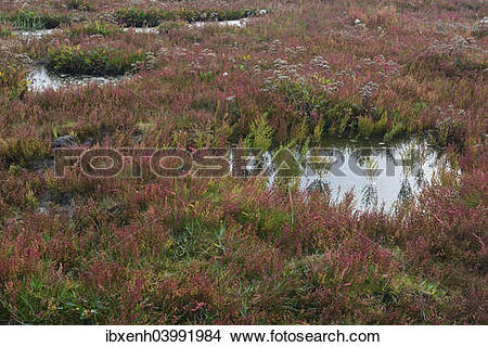 "Stock Photo of ""Salt meadow with glasswort (Salicornia europaea."