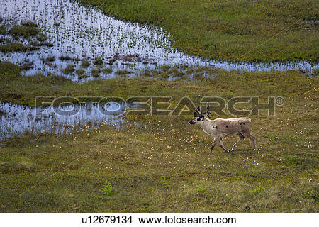 Stock Photo of Aerial view of a Caribou Stag, Rangifer tarandus.