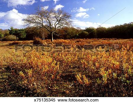 Stock Image of bog myrtle myrica gale in autumn, on wet heath, at.