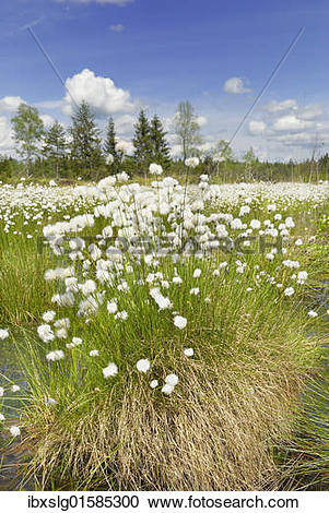 "Stock Photography of ""Flowering Cottongrass, Cotton."