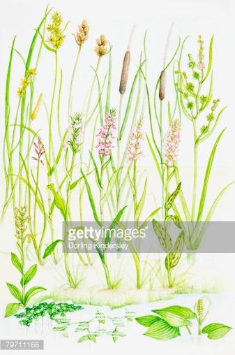 Bog Plants Stock Illustration.