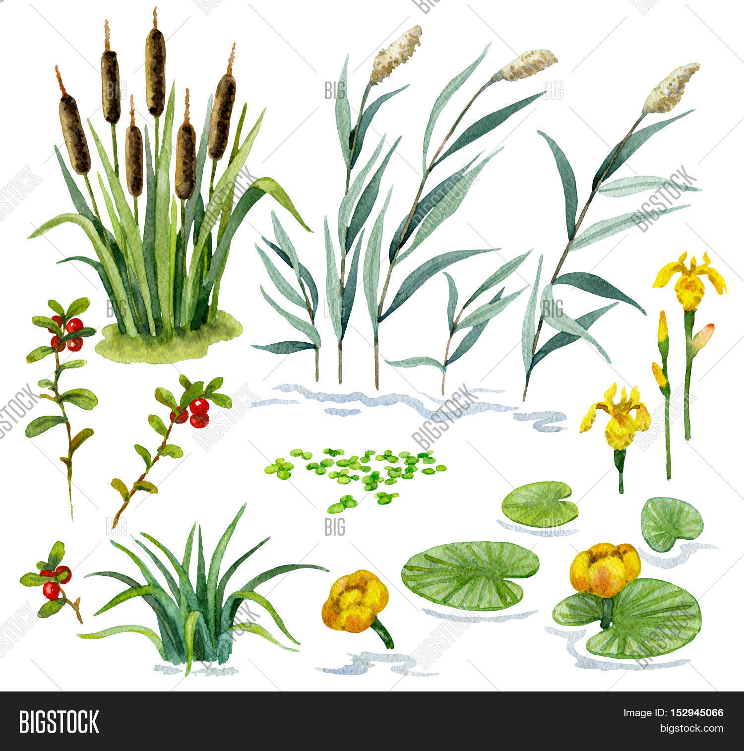 Raster colorful watercolor set of some wetland plants isolated on.