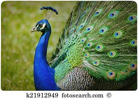 Peacock figure Stock Photo Images. 281 peacock figure royalty free.