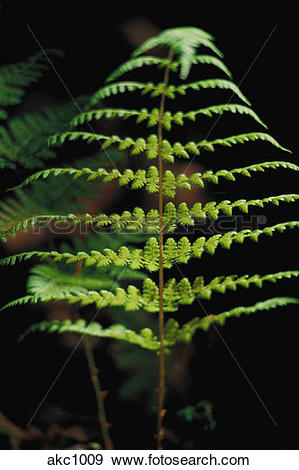 Stock Photograph of Cinnamon fern, Osmunda connamomea, bogs, woods.