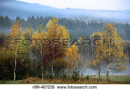 Stock Image of Autumn colours in the Bohemian forest. Birches and.