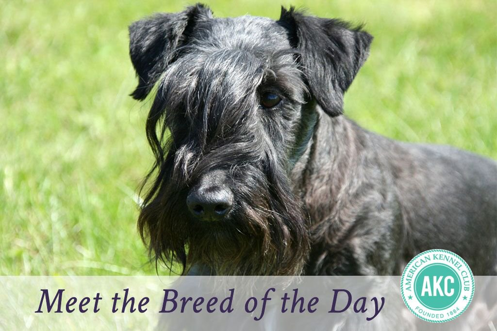 Cesky Terrier Dog Breed Information.