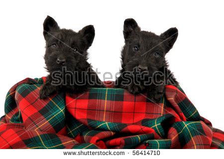 Tartan Terriers Stock Photos, Royalty.