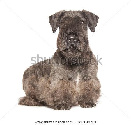 Cesky Terrier Stock Photos, Royalty.