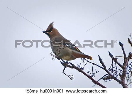 Stock Photography of Flock of Bohemian waxwings were feeding.