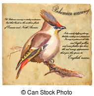 Bohemian waxwing Illustrations and Stock Art. 16 Bohemian waxwing.