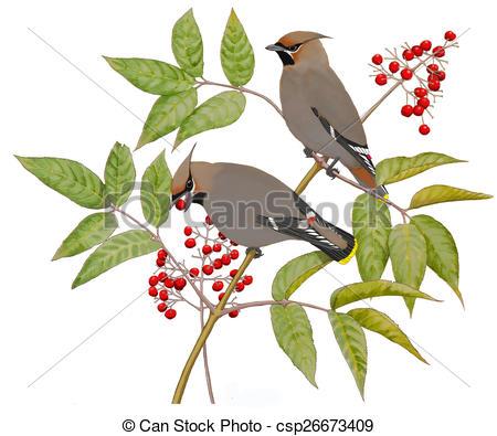 Stock Illustration of Bohemian Waxwings on Elderberry.