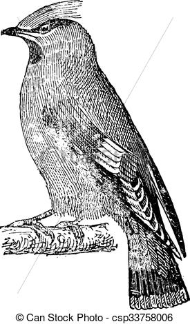 Vector Clipart of Bohemian waxwing (Bombycilla garrulus), vintage.