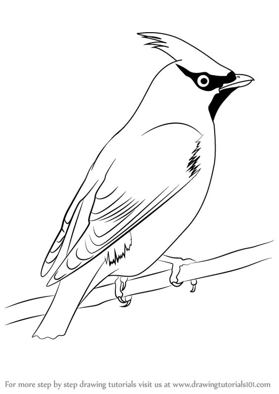 Learn How to Draw Bohemian Waxwing (Birds) Step by Step : Drawing.