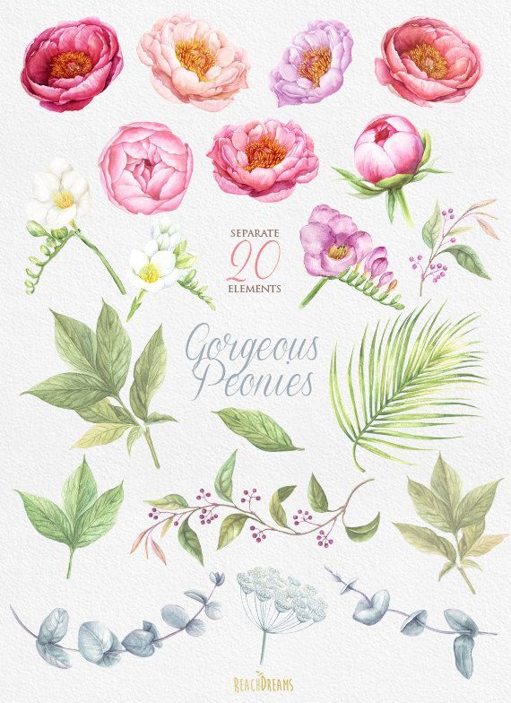 Peonies Watercolor Flowers Clipart. BOHO, Hand painted Wate.