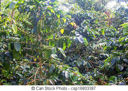 Stock Photographs of Coffee plants on Bolaven Plateau in Laos.