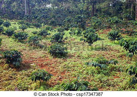 Pictures of Coffee plantation on Bolaven Plateau in Laos.