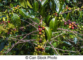 Stock Photography of Coffee plantation on Bolaven Plateau in Laos.