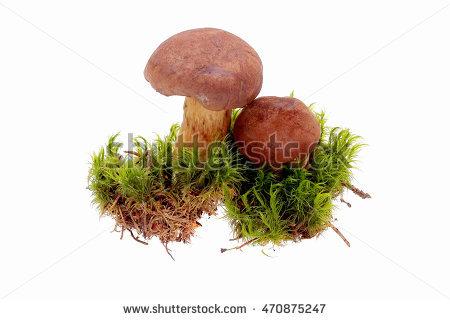 Boletus Badius Mushroom Stock Photos, Royalty.