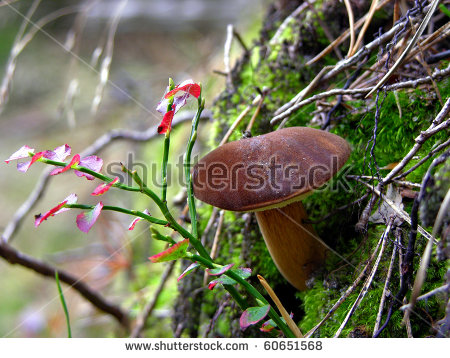 Edible Mushroom Bay Bolete (Boletus Badius ) Stock Photo 60651568.