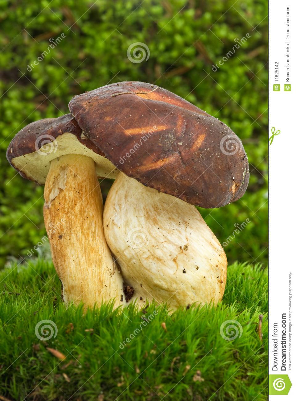 Boletus Badius (Xerocomus Badius) Mushroom Stock Photography.
