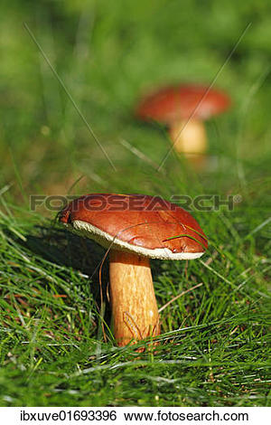 "Stock Images of ""Bay Bolete (Boletus badius), edible mushroom."