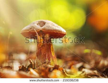 Boletus luridiformis Stock Photos, Images, & Pictures.