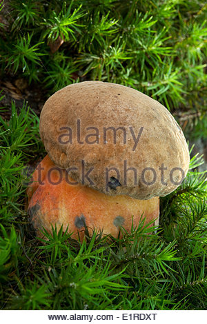 Bolete Stock Photos & Bolete Stock Images.