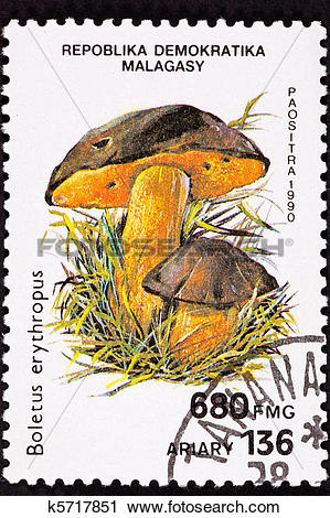 Clipart of Dotted Stem Bolete, Boletus Erythropus. Recently.