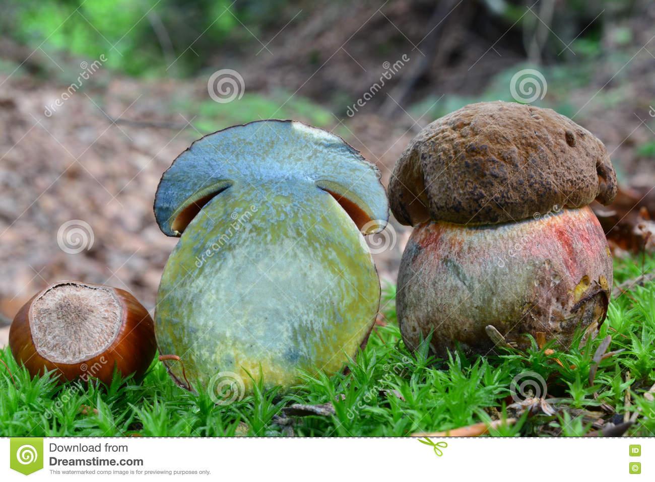 Scarletina Bolete Mushroom Cross Section Stock Photo.
