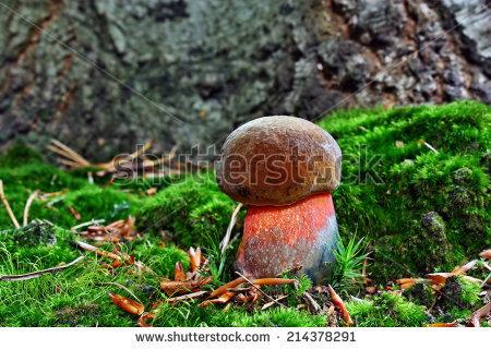 Boletus luridiformis Stock Photos, Images, & Pictures.