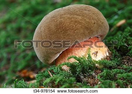 Stock Photo of Netzstieliger Hexenrohrling, Boletus luridus.