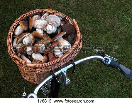 Stock Photo of Basket filled with King Boletes (Boletus edulis.