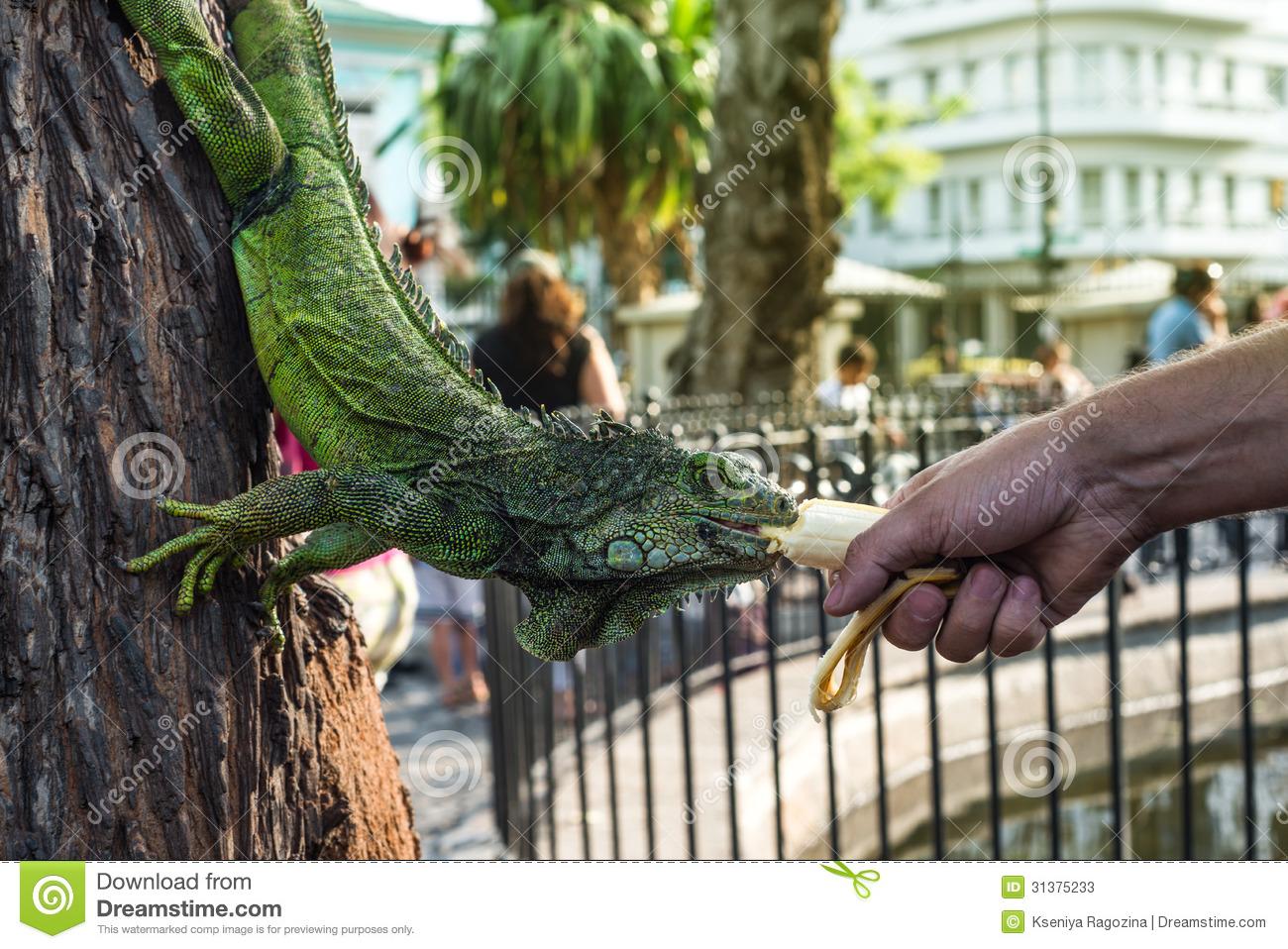 Land Iguana In Bolivar Park, Guayaquil, Ecuador Stock Photos.