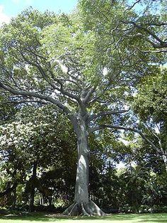 La Ceiba Arbol Nacional de Guatemala!!!!!!!.