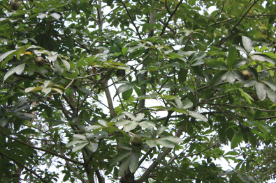 Bombacaceae, Pachira (Bombacopsis) glabra, Saba nut, American.