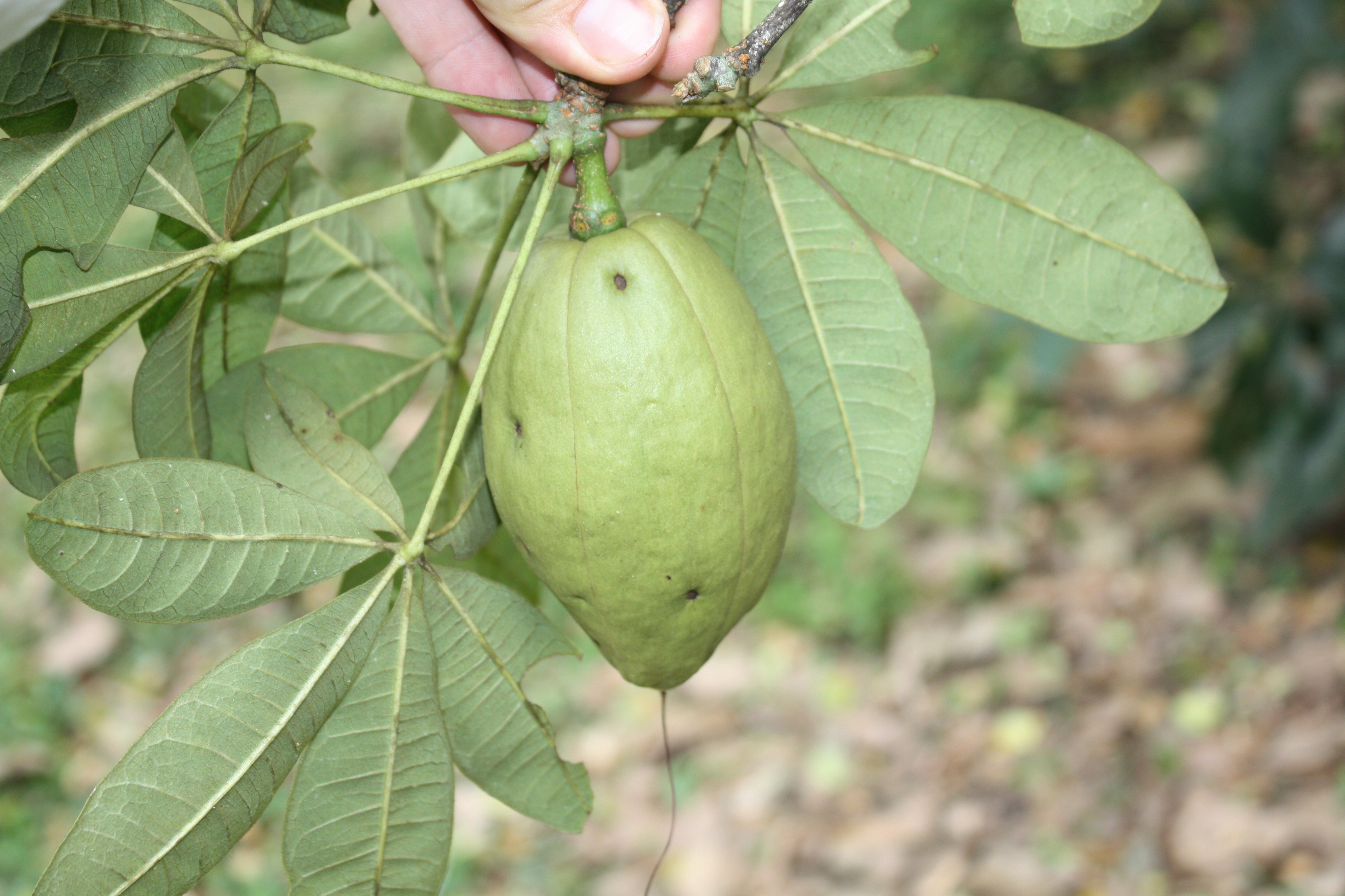 Pachira glabra, young fruit.