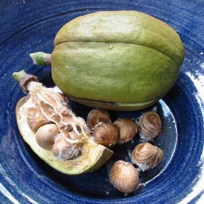 Bombacopsis glabra / Saba Nut.