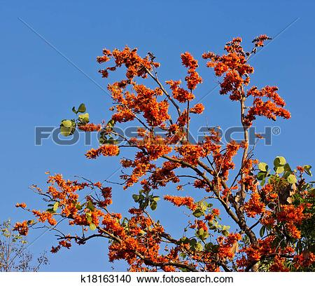 Stock Photography of Blossom of the Red Silk Cotton Tree.
