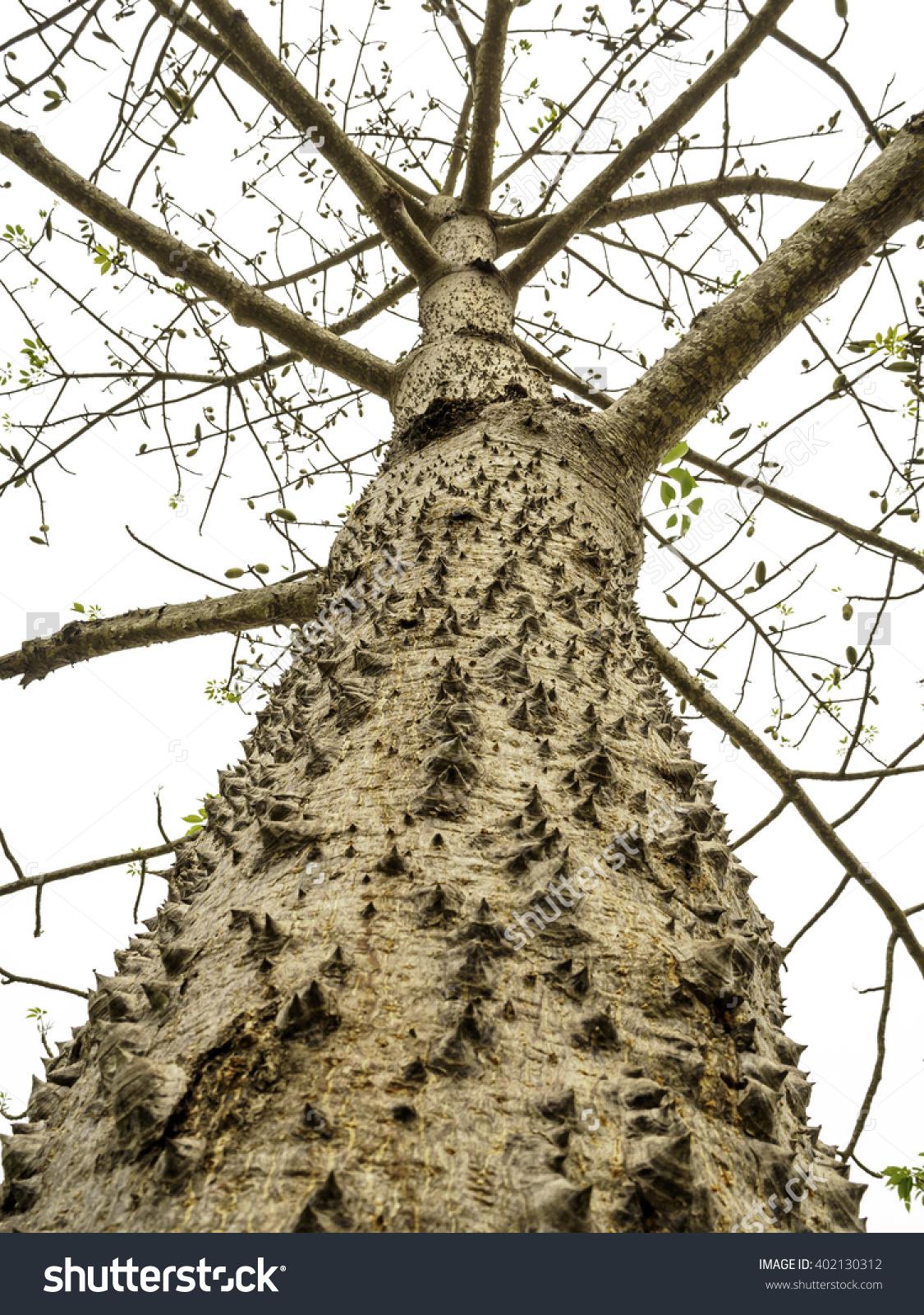 Giant Tree Thorny Trunk Bombax Ceiba Stock Photo 402130312.